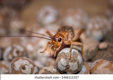 Crickets are insects of the Gryllidae family
