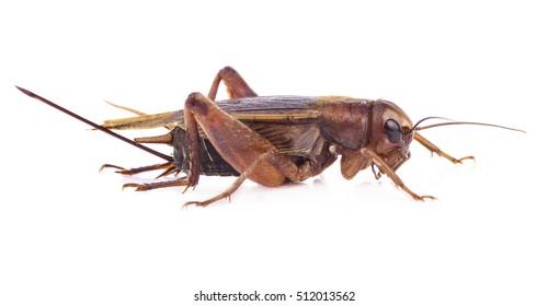Cricket Bug Images, Stock Photos & Vectors   Shutterstock