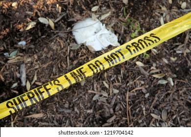 Crime Scene. Human Skull buried in dirt in a crime scene. Sheriff line do not cross warning tape. murder scene with police tape.