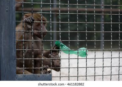 Crimea, Belogorsk - July 25, 2016: Lions Park Taigan. Safari Park. Baboons with plastic bottle
