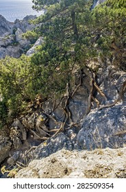Crimea, near the village of Novy Svet . Relic juniper and pine groves . Juniper roots penetrate the ropenetrate rocks in search of moisture and the support from the winds .