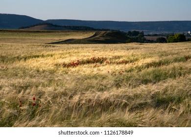 Crimea poppies in the field
