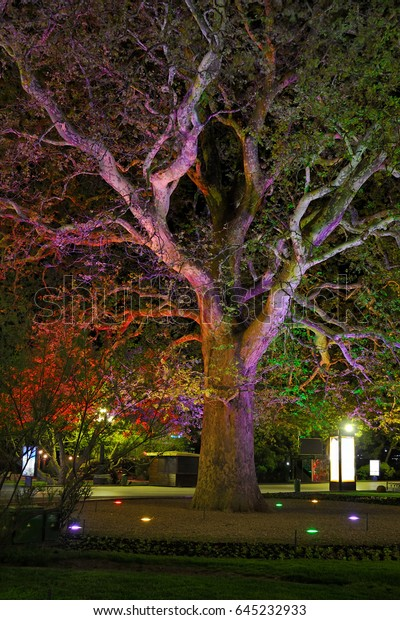 CRIMEA, RUSSIA = Illuminated in different colors at night the giant platan (oriental plane or Platanus orientalis) of Isadora Duncan adorning the embankment of Yalta, South coast of Crimea.