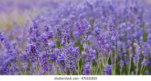 crimean lavender closeup, local focus, shallow DOF