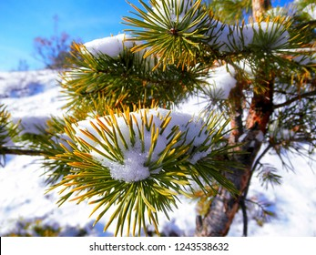 Crimean pine branches with snow close-up. Winter landscape