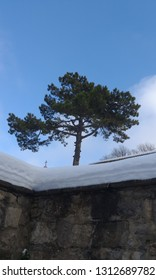 Crimean Pine tree in winter in the monastery courtyard