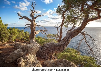 Crimean pine-tree over sea landscape