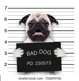 criminal mugshot  of pug  dog at police station holding placard , isolated on background
