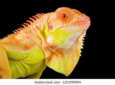 Crimson albino iguana (Iguana iguana)