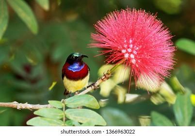 Crimson backed sunbird, Leptocoma minima, male, Coorg, Karnataka, India.
