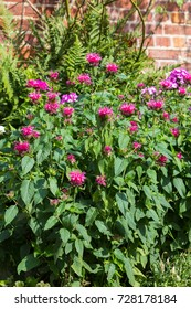 Crimson beebalm or bergamot plant a aromatic perennial garden plant.