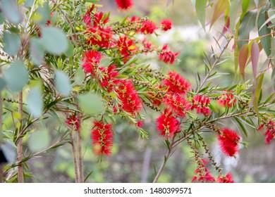Crimson bottlebrush plant from Australia