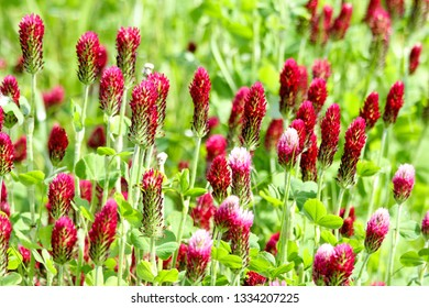 Crimson clover or Italian clover (Trifolium incarnatum) growing in the field for cattle food