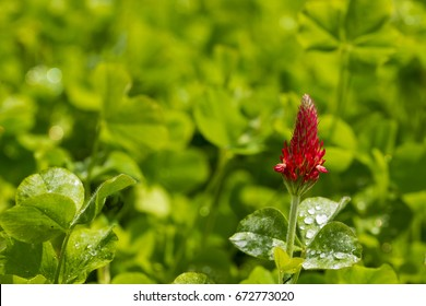 Crimson Clover is plant that helps regenrate the minerals that good growing soil needs to propogate future growth.