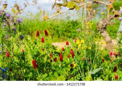 Crimson Clover (Trifolium incarnatum) blossom between vines organic viticulture in rheinhessen in spring