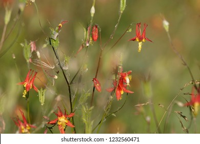 Crimson columbine (Aquilegia formosa), yellow and red flowering wildflower in full bloom closeup macro photo, Wood River Valley, Fort Klamath, Oregon, USA