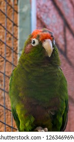 crimson fronted parakeet, a green tropical parrot with red head, from the forests of america