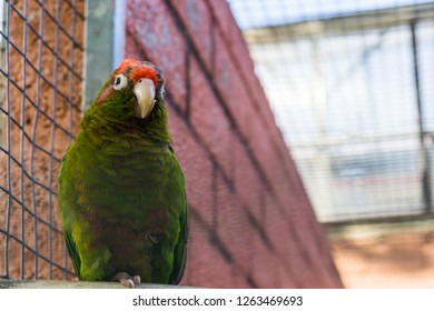 crimson fronted parakeet, a tropical green parrot from America