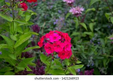 Crimson Garden Phlox (Phlox paniculata), flowers of summer, fall phlox, perennial phlox