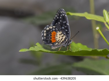 Crimson Patch Butterfly on a leaf