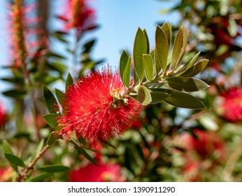 Crimson red Callistemon Citrinus flowering shrub, an Australian native plant commonly known as bottlebrush