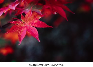 Crimson red maple leaf with dark background, selective focus