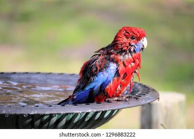 Crimson Rosella, blue-cheeked, bathing in a birdbath. Close up.
