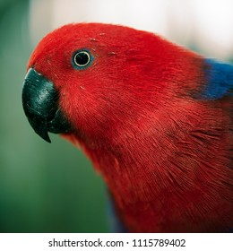 Crimson rosella during the day.