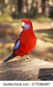 Crimson Rosella, red Australian bird.