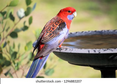 Crimson Rosella standing on the edge of a birdbath which is filled with water