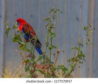 Crimson Rosella - Taken near Gresford, NSW, Australia
