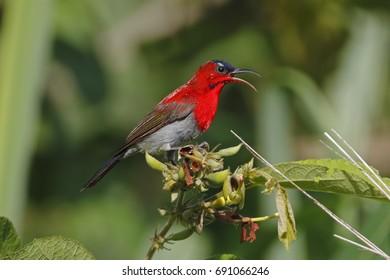 Crimson Sunbird Aethopyga siparaja Male Cute Birds of Thailand