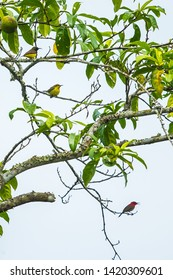 Crimson Sunbird (Aethopyga siparaja) and Olive-backed Sunbird (Nectarinia jugularis)