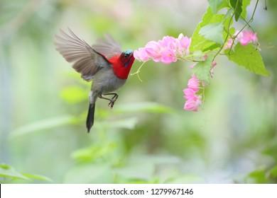 Crimson sunbird (male) with flowers