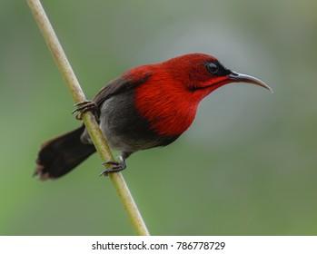 Crimson sunbird on stem of water canna