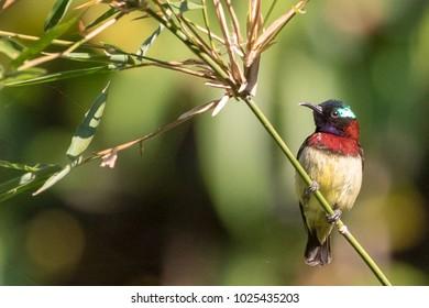 Crimson-backed Sunbird taken near Dandeli, Karnataka