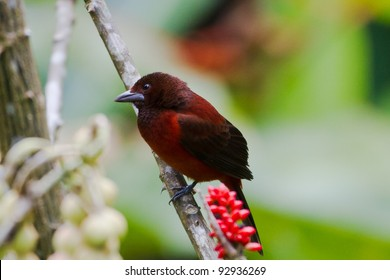 Crimson-backed Tanager, Male