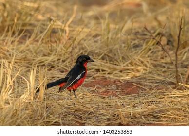Crimson-breasted Gonolek - Laniarius atrococcineus, beautiful unique perching bird from African savannas and bushes, Namibia.
