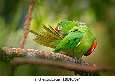 Crimson-fronted Parakeet, Aratinga finschi, portrait of light green parrot with red head, Costa Rica. Wildlife scene from tropical nature. Bird in the habitat. Parrot cleaning tail plumage feather.
