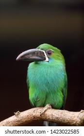 The crimson-rumped toucanet (Aulacorhynchus haematopygus) sitting on the branch. Aracari portait.