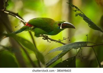 Crimson-rumped Toucanet Aulacorhynchus haematopygus,green toucanet with red rump and reddish large bill, perched on twig against blurred,green, rainforest background.
