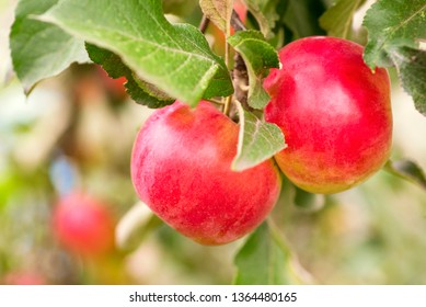 Crisp red apple on a branch. Red apples closeup. Tree branch detail. Concept of growing an industrial apple orchard