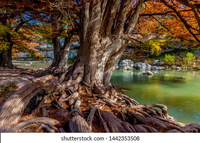 Crisp Shot of Tangled Cypress Tree Roots in the Dappled Shade of Bright Orange Fall Foliage at Guadalupe State Park, Texas