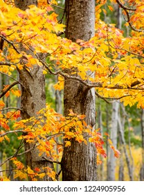 The crispy tree bark of a maple tree surrounded by the orange and yellow leaves of autumn