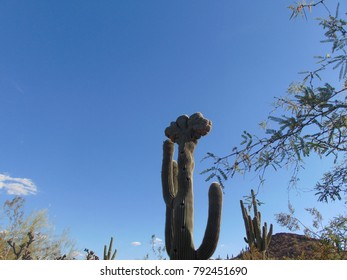 Cristate Crested Saguaro Cactus with bird nests and multiple arms in the Sonoran Desert in Arizona
