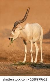 Critically endangered addax or white antelope (Addax nasomaculatus), Sahara desert, Northern Africa