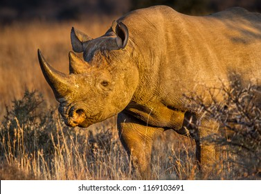 The critically endangered black rhino browsing in  a national park in the last rays of the afternoon sun, South Africa