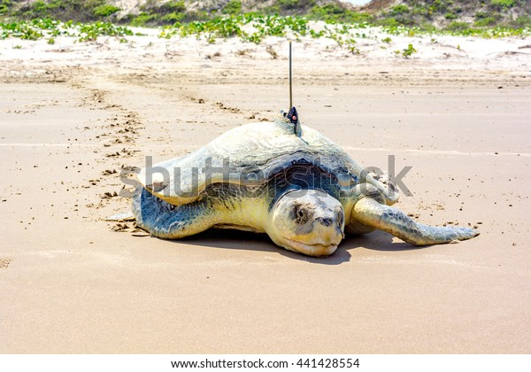 A critically endangered Kemp's Ridley, the rarest of all sea turtles, leaves turtle tracks in the sand of Padre Island National Seashore while returning to the sea after laying a clutch of eggs.