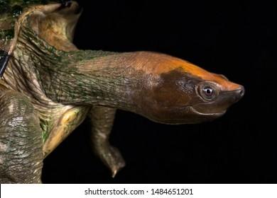 The critically endangered Painted batagur (Batagur borneoensis)
