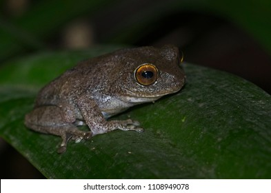 Critically endangered Raorchestes Ponmudi frog which is endemic to Western Ghats in India